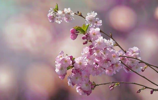 Blühender Ast eines Kirschbaums